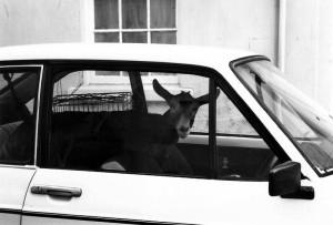 3_Goat_in_a_car_800px